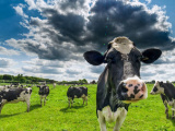 Gut bacteria could be key to producing tastier cow's milk