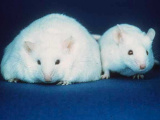 These gut bacteria prevent mice from becoming obese - what could that mean for us?